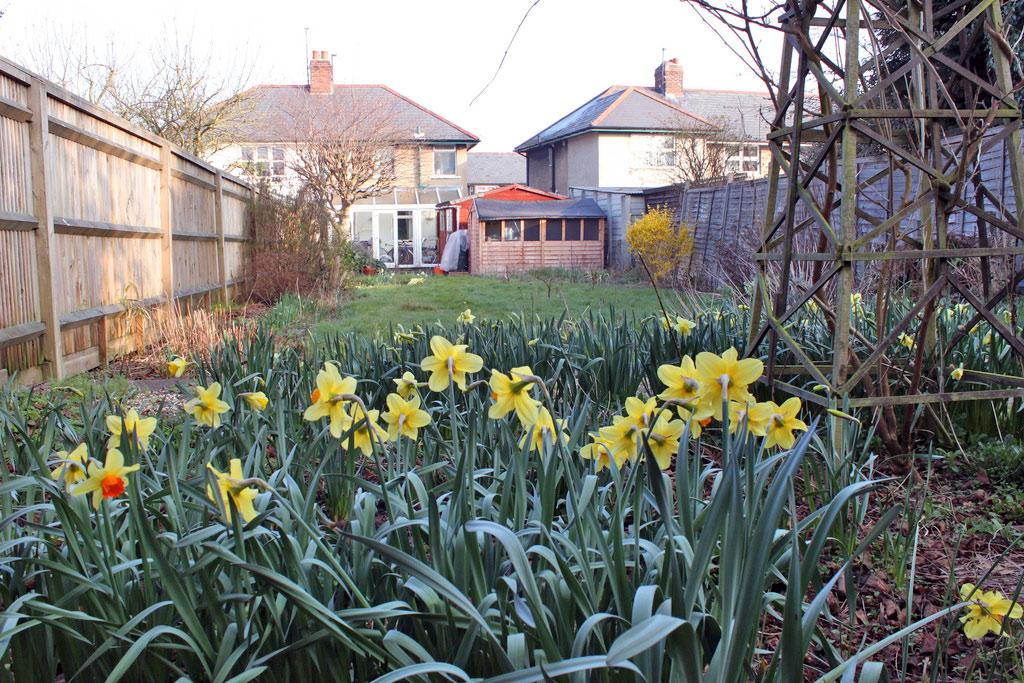 back-garden-daffodils