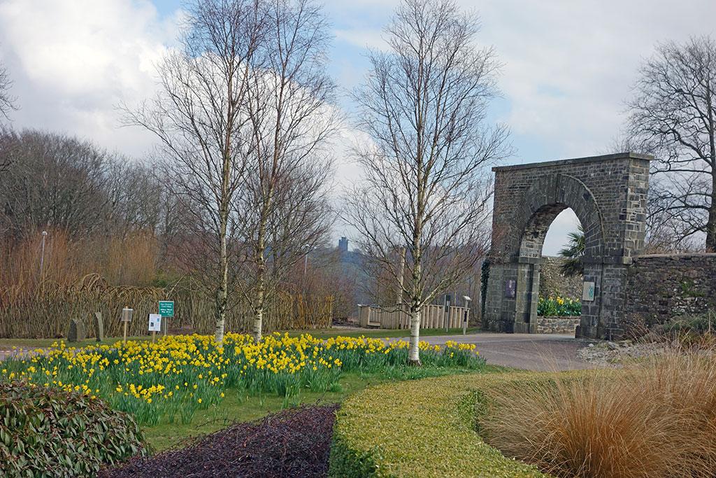 daffodils-wales