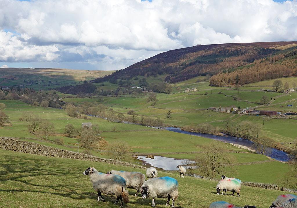 sheep-wharfedale