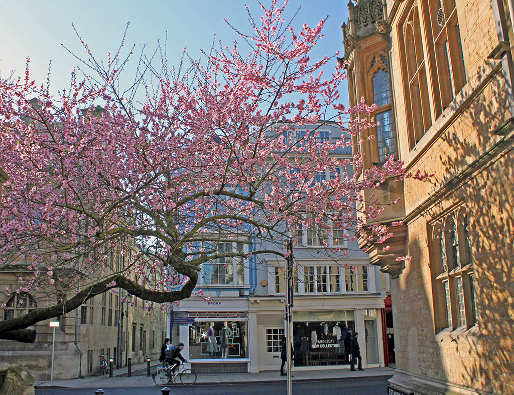 tree-apple-blossom-march-st-mary