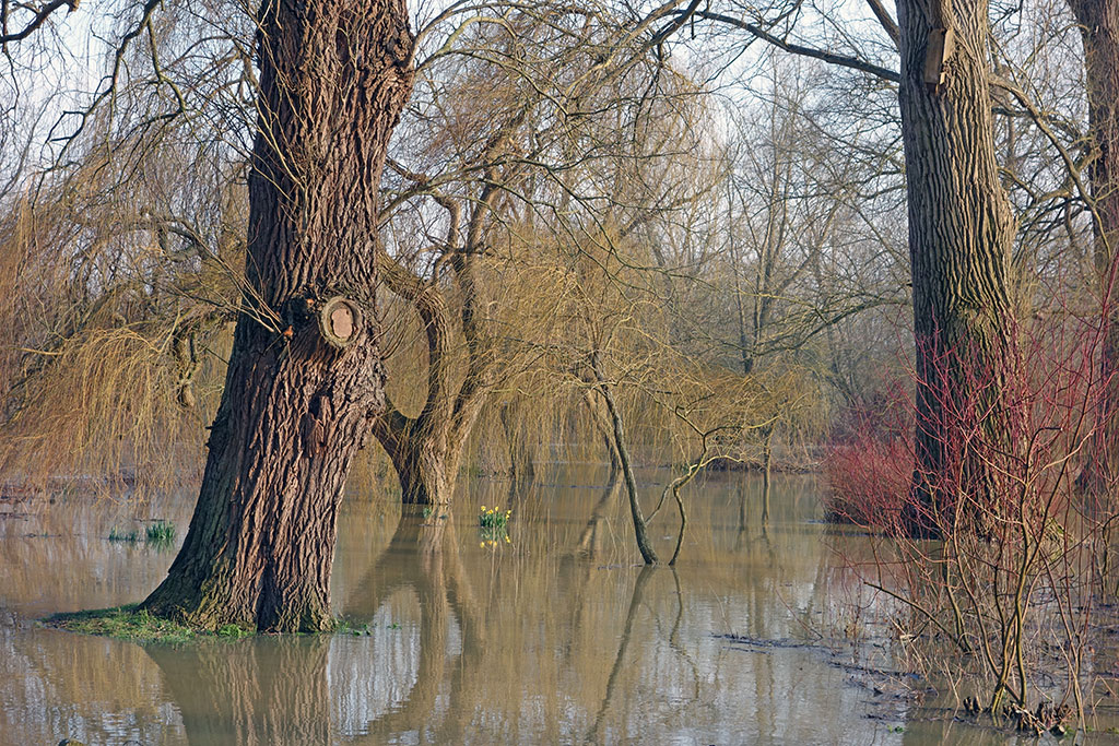 willow-tree-flood-winter-1
