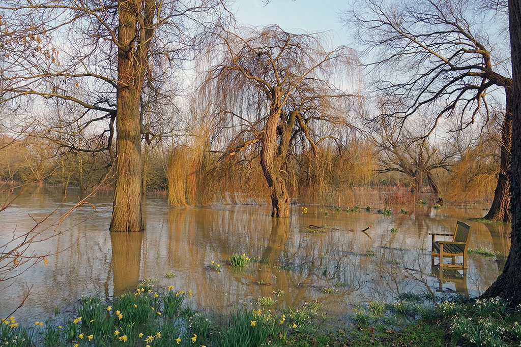 willow-tree-flood-winter-daffodil-3