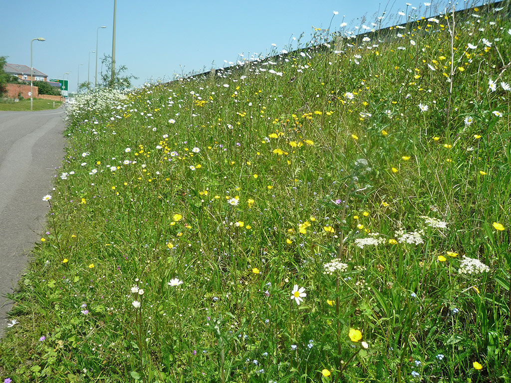 may-wild-flower-verges-daisy