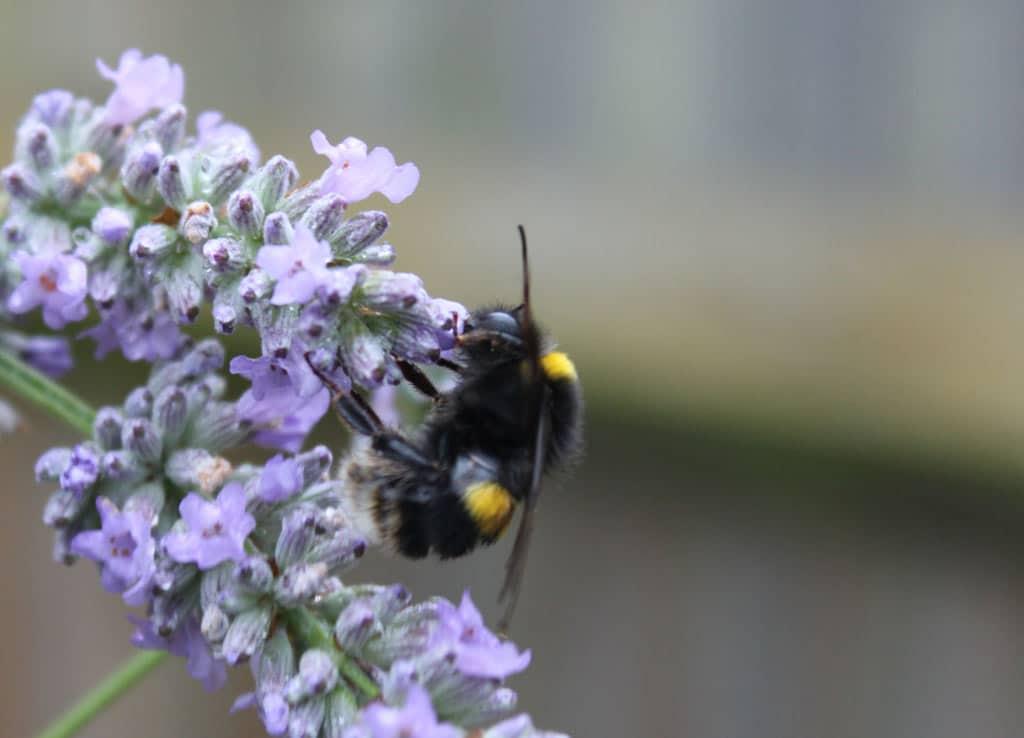bee-lavender-2