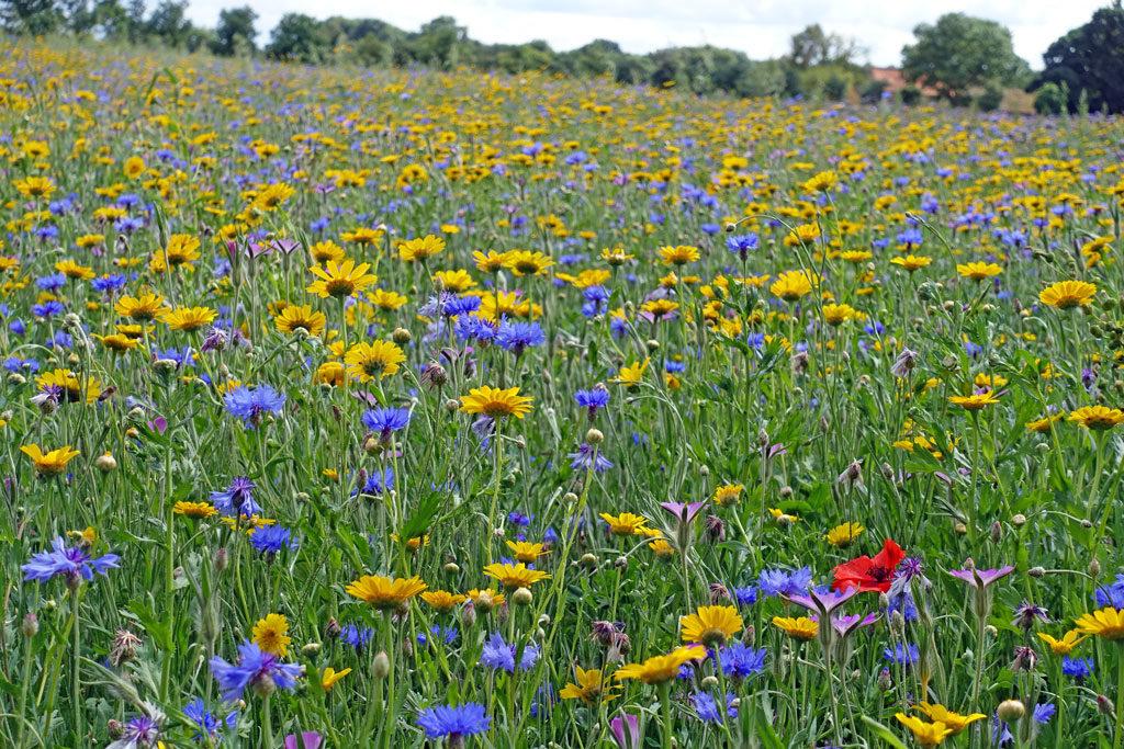 blue-yellow-wildflower-