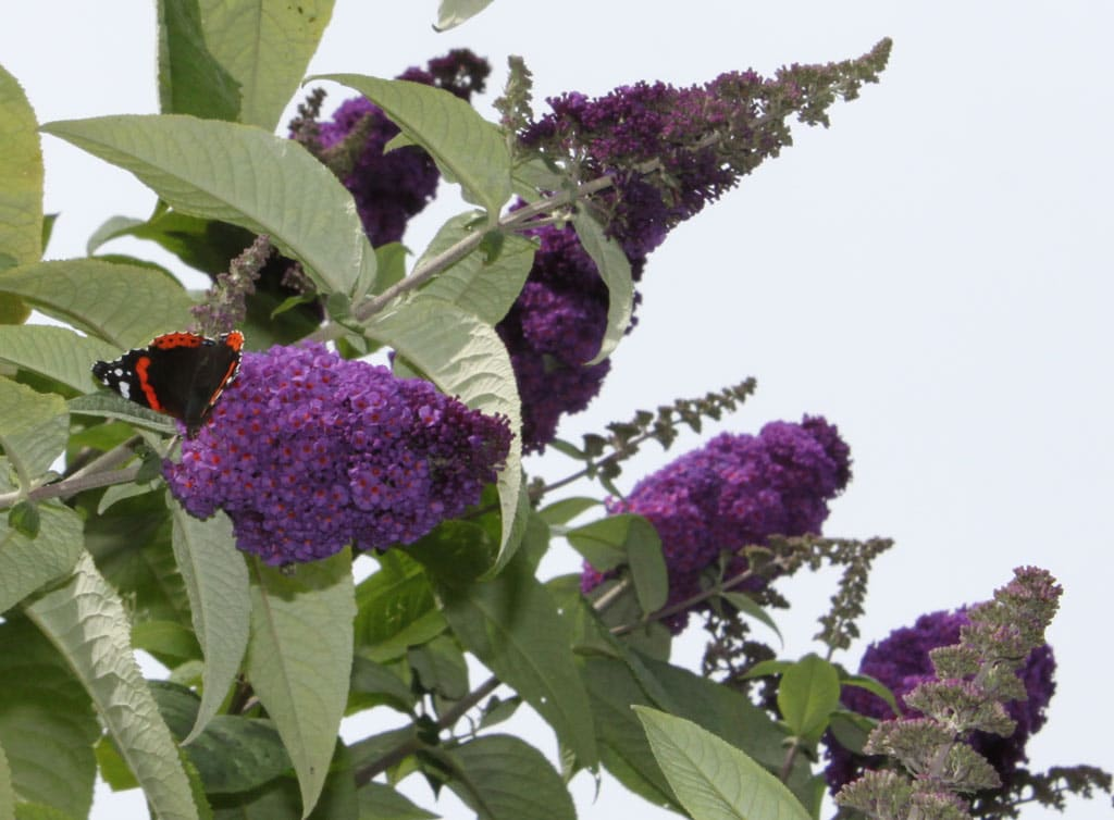 red-admiral-butterfly-buddleia