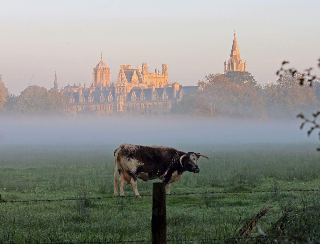 cow-dawn
