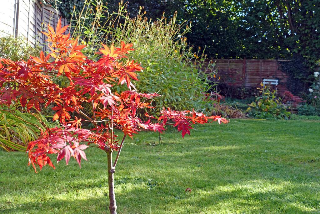 acer-autumn