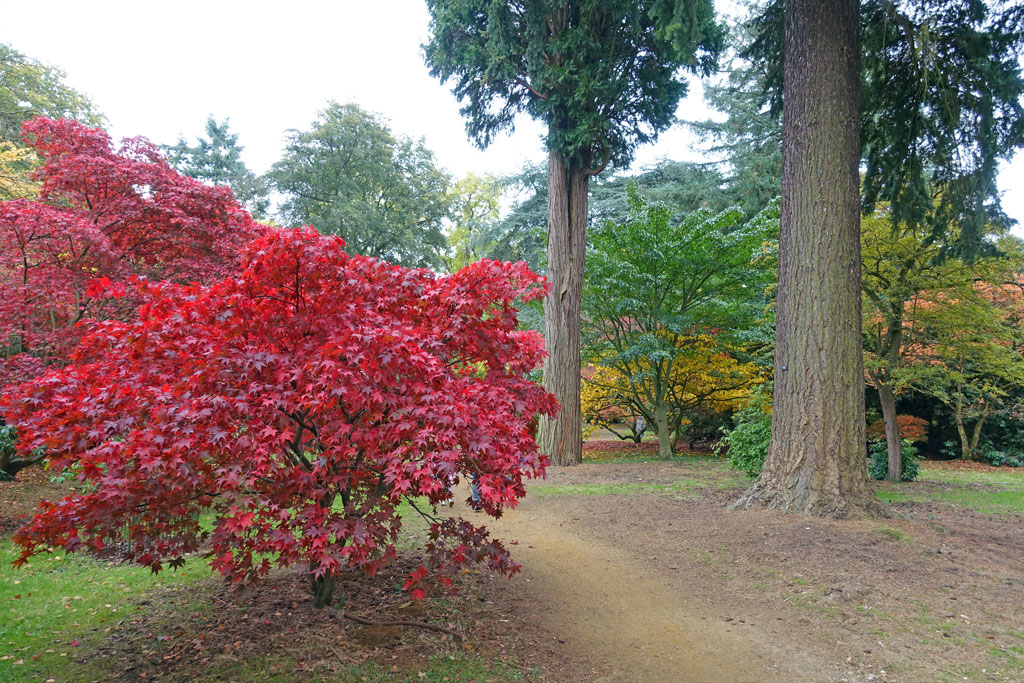 acer-red-trunks