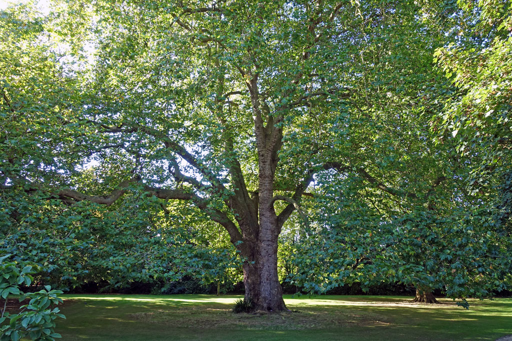 worcester-tree