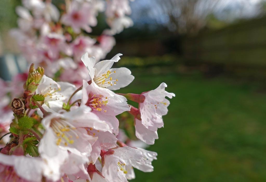 apple-tree-blossom-close-up