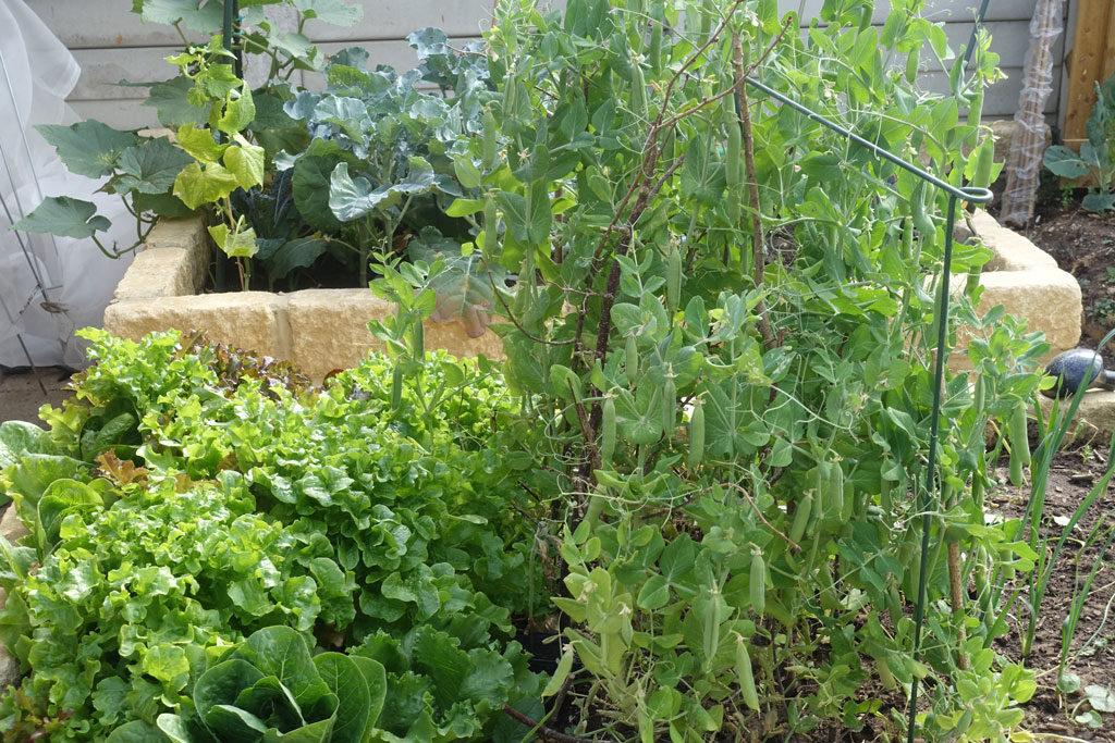 peas-lettuce